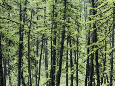 The Modern Boreal Forest, Larch Trees