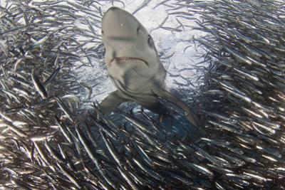 Blue Shark (Prionace Glauca) Feeding On Anchovy (Engraulis Encrasicolus) Bait Ball by Chris & Monique Fallows