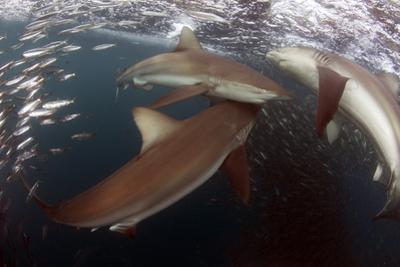 Bronze Whaler Sharks (Carcharhinus Brachyurus) Feeding On Sardines (Sardinops Ocellata) East London by Chris & Monique Fallows
