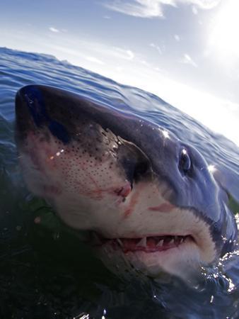 Great White Shark (Carchardon Carcharias) False Bay, South Africa by Chris & Monique Fallows