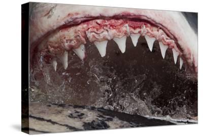 Great White Shark (Carcharodon Carcharias) Feeding by Chris & Monique Fallows
