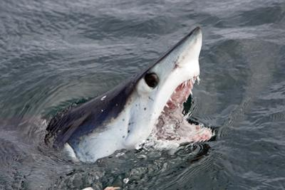 Mako Shark (Isurus Oxyrinchus) At Surface With Mouth Open, Cape Point, South Africa, March by Chris & Monique Fallows