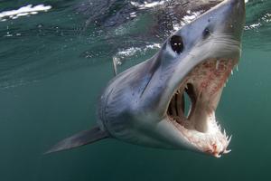 Mako Shark (Isurus Oxyrinchus) Cape Point, South Africa by Chris & Monique Fallows