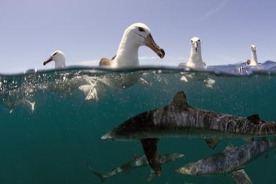 Shy Albatros (Thalassarche Cauta) Swimming At Surface With Blue Sharks (Prionace Glauca) Below