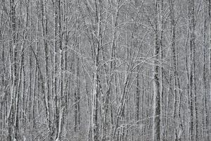 USA, New York State. Winter trees during a snowfall. by Chris Murray