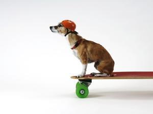 Chihuahua on a Skateboard by Chris Rogers