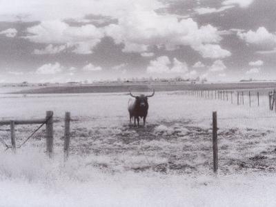 Longhorn Steer, CO by Chris Rogers