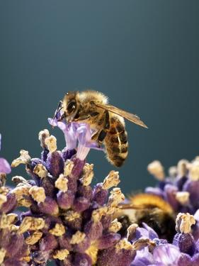 A Bee on a Lavender Flower by Chris Sch?fer