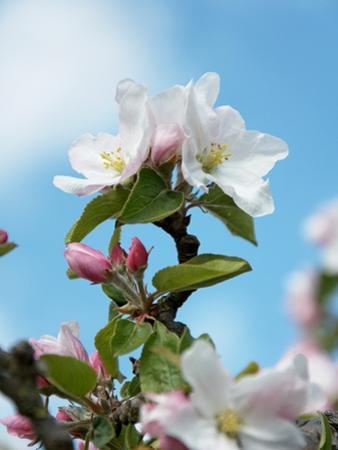 Apple Blossom on the Tree