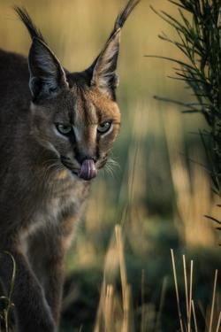 A caracal, Caracal caracal, walking in the green grasses of Etosha National Park. by Chris Schmid