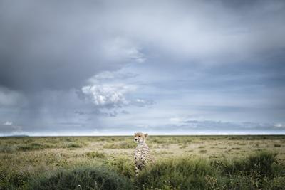 An Alert Male Cheetah, Acinonyx Jubatus, in Southern Serengeti by Chris Schmid