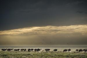 Blue Wildebeest Migrating in the Ndutu Plains of the Southern Serengeti by Chris Schmid