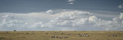 Group of plains zebras, Equus burchelli, grazing. by Chris Schmid