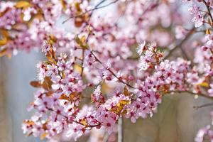 Apple Tree, Malus Spec., Branches, Blossoms, Pink by Chris Seba