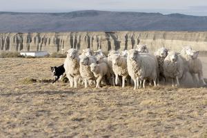 Argentina, Patagonia, Province Santa Cruz, Sheep Farm, Flock of Sheep, Sheepdog by Chris Seba