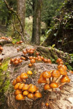 Chile, Patagonia, National Park Villarrica, Trunk, Fungi by Chris Seba