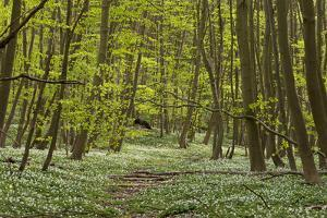 Europe, Germany, Mecklenburg-Western Pomerania, Baltic Sea Island RŸgen, Forest Path by Chris Seba