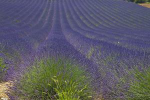 Europe, South of France, Provence, Lavender Field, Period of Bloom by Chris Seba
