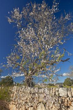 Europe, Spain, Majorca, Almonds, Meadow, Stone Wall by Chris Seba