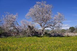 Europe, Spain, Majorca, Meadow, Almond, Almond Blossom, Yellow Flowers by Chris Seba
