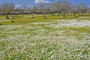 Europe, Spain, Majorca, Meadow, Daisy, Almonds by Chris Seba