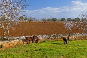 Europe, Spain, Majorca, Meadow, Donkey, Almonds by Chris Seba