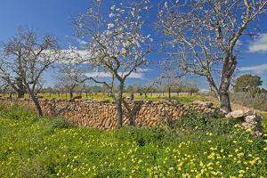 Europe, Spain, Majorca, Meadow, Yellow Flowers, Almonds by Chris Seba