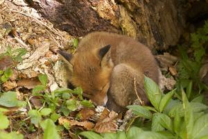 Fox, Vulpes Vulpes, Young, Sleeping, Nature, Fauna, Wildlife, Wilderness, Forest, Forest-Ground by Chris Seba