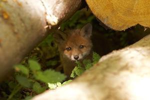 Fox, Vulpes Vulpes, Young, Watching, Camera, Tree-Trunks, Detail, Blurred, Nature, Fauna by Chris Seba