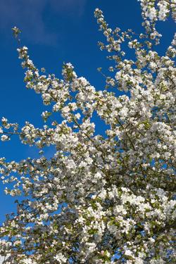 Germany, Lower Saxony, Apple Blossom by Chris Seba
