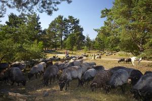 Germany, Lower Saxony, LŸneburg Heath, Flock of German Heath by Chris Seba