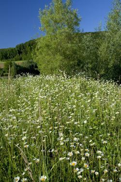Germany, Weser Hills, Nature, Flower Meadow, Marguerites by Chris Seba