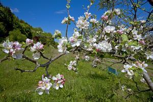 Luxembourg, Ansembourg, Castle Garden, Apple Tree Blossom, Spring by Chris Seba