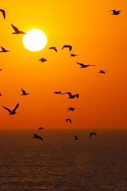 Portugal, Algarve, Lagos, Sunrise, Flock of Gulls by Chris Seba