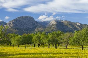 Spanish Balearic Islands, Island Majorca, Olive Grove Infront of the Mountains of the Tramuntana by Chris Seba