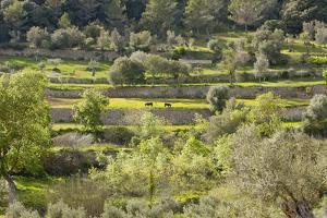 Spanish Balearic Islands, Island Majorca, Serra De Tramuntana, Terrace Fields, Donkeys by Chris Seba