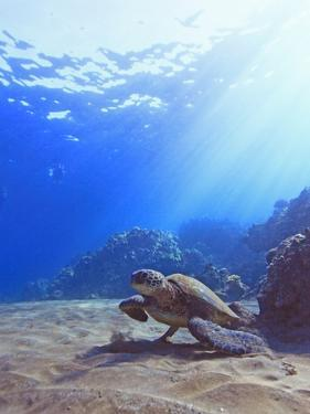 Green Sea Turtle by Reef by Chris Stankis