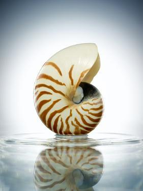 Nautilus Shell in a Still Pool of Water by Chris Stein