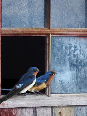 Barn Swallows Window by Chris Vest