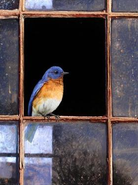 Bluebird Window by Chris Vest