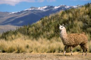 Andean Llama by chrishowey
