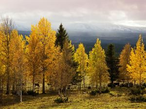 Autumn Yellow Aspens with Snowcapped Fjells in Background by Christer Fredriksson