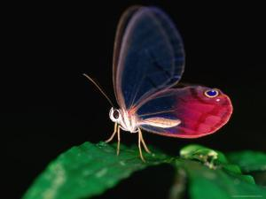 Glasswing Butterfly, Cithaerias Menander, Corcovado National Park by Christer Fredriksson