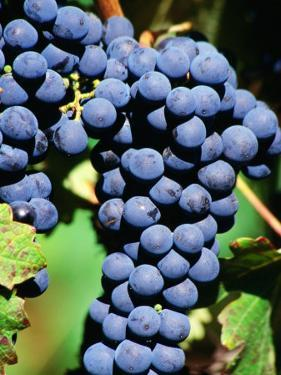 Pinot Noir Grapes Hanging on a Vine, South Africa by Christer Fredriksson