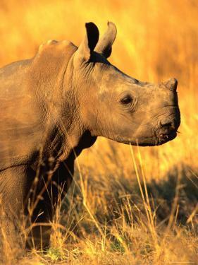 White Rhino Calf in Profile, Matobo National Park, Matabeleland South, Zimbabwe by Christer Fredriksson