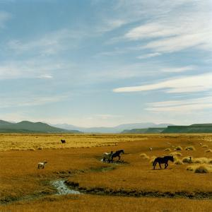 Horses Roaming in a Field, Andes by Christian Aslund
