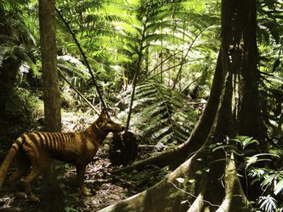Tasmanian Wolf In Forest by Christian Darkin