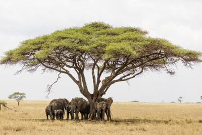African elephant sheltering from the heat under a tree canopy, Serengeti National Park by Christian Kober
