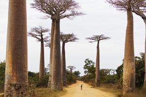 Allee de Baobab (Adansonia), western area, Madagascar, Africa by Christian Kober