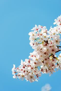 Asia, Republic of Korea, South Korea, Jeju Island, Jeju City, Spring Cherry Blossom by Christian Kober